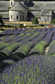Blühendes Lavendelfeld vor der Abbaye de Senanque, Zisterzienser-Abtei, Vaucluse, Provence, Frankreich, Europa
