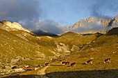 Cattle on pasture, Col Lauson, Gran Paradiso National Park, Aosta Valley, Italy