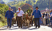 Taking down the cattle from the alpine pasture at Erlenbacher Hütte to the village of Oberried, Southern Part of Black Forest, Black Forest, Baden-Württemberg, Germany, Europe
