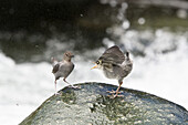 American Dipper feeding young bird, Water Ouzel, Cinclus mexicanus, Costa Rica, Central America