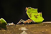 Leafcutter ants carrying pieces of leaves, Atta cephalotes, rainforest, Costa Rica