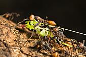 Army Ants, submajor and worker, Eciton burchellii, rainforest of La Selva, Costa Rica