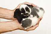 Newborn domestic cats in a woman's hands, Germany