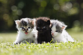 Young cats outside on the grass, Felis catus, Germany