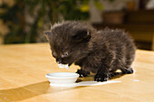 Young domestic cat, kitten drinking milk, Germany
