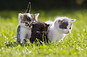 Young domestic cats, kittens in the garden, Germany