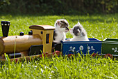 Young domestic cats, kittens playing with a wooden toy train in the garden, Germany