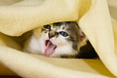 Young domestic cat, hiding under a blanket, Germany