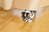 Young domestic cat, kitten behind the curtain in the living room, Germany