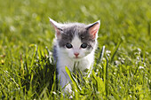 young domestic cat, kitten in the garden, Germany