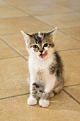 Young domestic cat, kitten licking its mouth, Germany