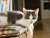 young domestic cat, kitten laying on a chair in the living room, Germany