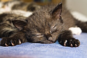 Young black domestic cat, kitten sleeping, Germany