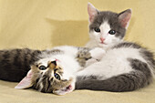 Young domestic cats, kittens, Germany