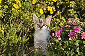 Young domestic cat, kitten exploring the garden, Germany