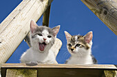 Young domestic cats, kittens on a platform in the garden, Germany