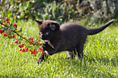 Young domestic cat playing with toy, Germany
