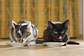 Two young domestic cats, kittens drinking milk, Germany