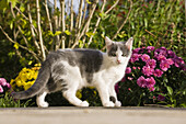 Young kitten, domestic cat in the garden near flowers, Germany