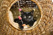 Domestic cat, kitten in a basket, Germany