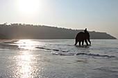 Bathing elephant with his mahut in the Andaman Sea at Radha Nagar Beach at sunrise, Beach 7, Havelock Island, Andamans, India