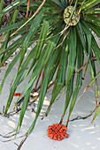 Tropical plant on Merk Bay Beach, North Passage Island, Middle Andaman, Andamans, India