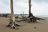 From the Tsunami devastated trees on an uninhabited beach, Baratang, Middle Andaman, Andamans, India