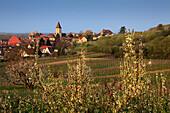 Fruit blossom, Burkheim, Kaiserstuhl, Breisgau, Black Forest, Baden-Württemberg, Germany