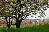 View to Jechtingen, Kaiserstuhl, Breisgau, Black Forest, Baden-Württemberg, Germany