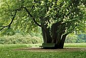 Kastanie im Schlosspark Belvedere, Weimar, Thüringen, Deutschland