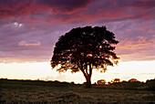 Oak tree at dusk, Yorkshire, Great Britain