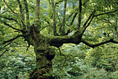 Oak tree in a forest near St-Jean-Pied-de-Port, Basque region, France