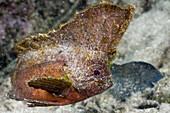 Redskinfish, Ablabys binotatus, Raja Ampat, West Papua, Indonesia