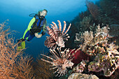 Scuba Diver and Lionfish, Pterois volitans, Raja Ampat, West Papua, Indonesia