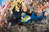 Yellow-ribbon Sweetlips between Soft Corals, Plectorhinchus polytaenia, Raja Ampat, West Papua, Indonesia
