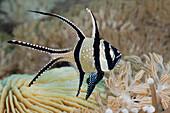 Snowflake Cardinalfish, Pterapogon kauderni, Lembeh Strait, North Sulawesi, Indonesia