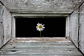 One chamomile in a wooden loop-hole
