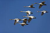 Cygnus cygnus, Swans