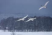 Swans, Cygnus cygnus