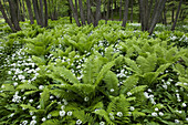Ferns and ramsons, Stenshuvud National Park, Skane, Sweden