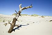Sand dunes and dead tree, Raabjerg Mölle, Jutland, Denmark