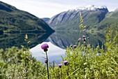 Purple flower by a lake, The Rodals Water (Roldalsvattnet), Norway