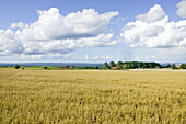 Filed of oats, Ven, Skane, Sweden