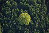 A deciduous tree in a coniferous forest
