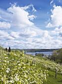 Flowering pear trees at a lake., Ivosjon, Skane, Sweden