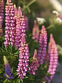 Lupins in blossom, Hano, Blekinge, Sweden