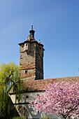 Blooming almond trees in front of Klingentor gate, Rothenburg ob der Tauber, Bavaria, Germany
