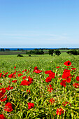 Rape field with red poppy and view onto the Baltic Sea, Ystad, Skane, South Sweden, Sweden