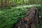 Wild garlic, ramson plants, Allium ursinum and fungus growing on a tree trunk, landscape garden Wrisbergholzen, Lower Saxony