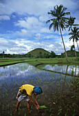 A woman planting rice on a rice field in the Chocolate Hills, Bohol island, Philippines, Asia